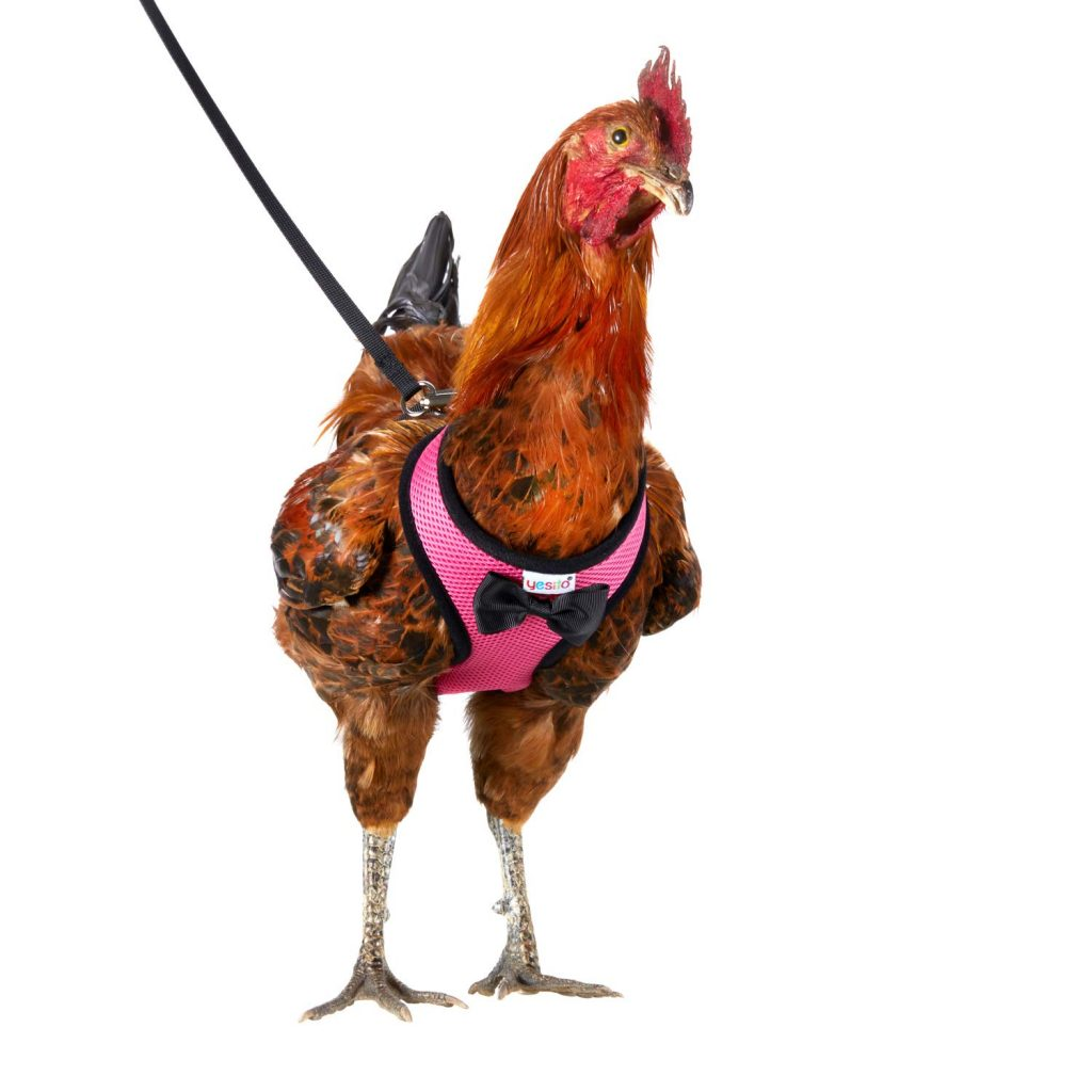 The Pet Chicken Leash