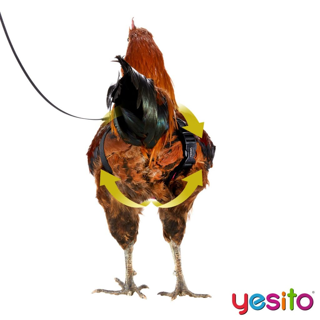 The Pet Chicken Leash 6